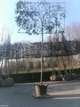 LEI-PHOTINIA (hoogstam leiboom scherm) omtrek 12-14cm